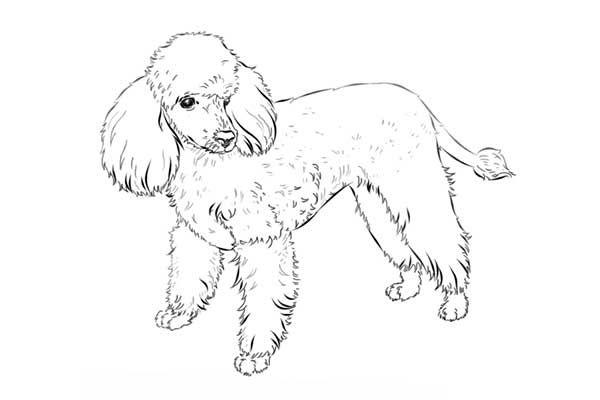 آموزش گام به گام نقاشی حیوانات سگ پودل فرانسوی Moose Art Art Humanoid Sketch