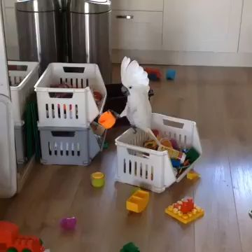 Parrot plays with my child's tools
