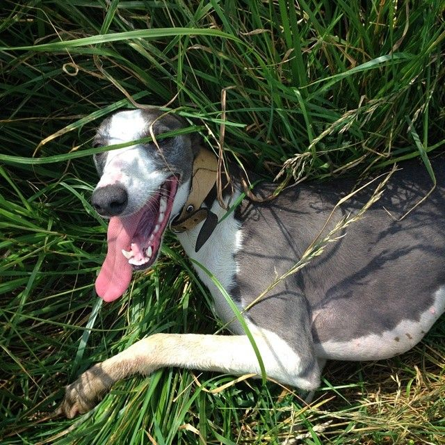 Midge exhausted #Whippet #Dogs