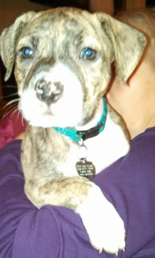 Mn Litter-Rocket. Rocket and his siblings were born on 02/23/15. They are Border Collie/Mastiff/Pit mixes and will be ready for their forever homes after 04/23/15. Last Day Dog Rescue | Livonia, MI 48151 | ourlastdaydogs@gmail.com