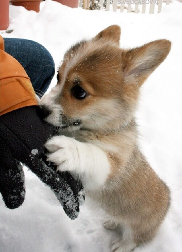 i want another corgi!!! how can u not love this little guy!!!!!