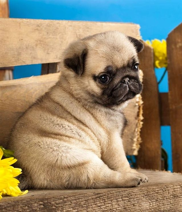 Curious Pug Photo Funny Nature Puppies Baby Pugs Cute Pug