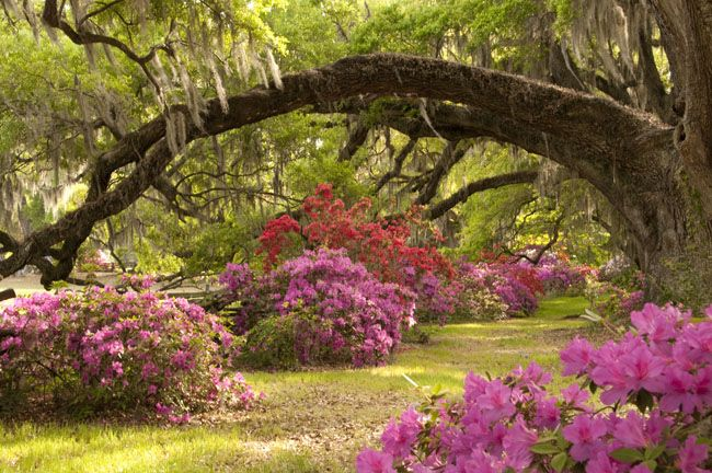 Azaleas and live oaks by vicki wilson via 500px patios - Jardines de ensueno ...