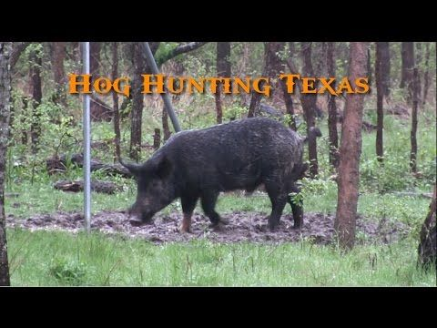 Hog Hunting Texas - Wild Boar Headshots - YouTube