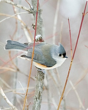 Another favorite, the Tufted Titmouse. In winter they hang out with the Dark Eyed Junkos.