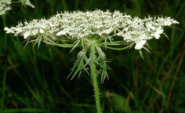 Inflorescència en umbel·la doble de la pastanaga borda (Daucus carota)