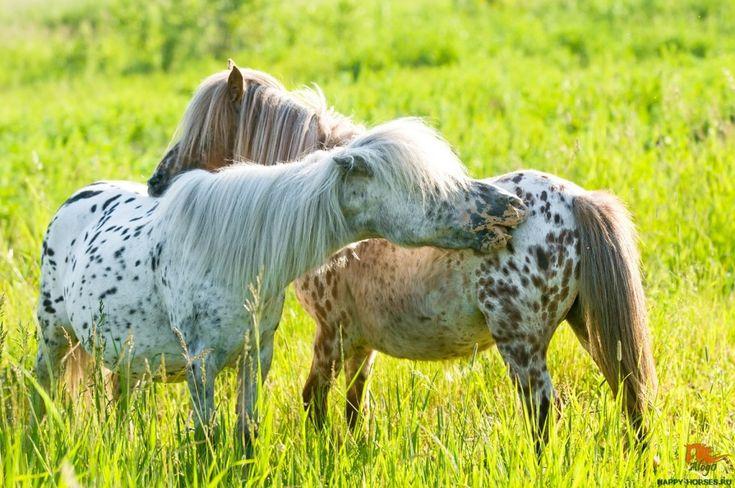 Two appaloosa ponyes on the meadow Создание породы аппалуза – заслуга индейского племени Неза Перс, обитавшего на северо-западе страны. Индейцы Неза Перс являлись самыми опытными коневодами в Орегоне, Вашингтоне и Айдахо. Их верховые лошади, большинство из которых были чубарыми, очень ценились среди других племен.