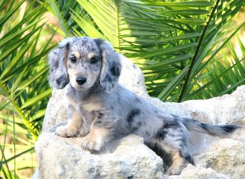 Adorable AKC Long Haired Mini Dachshund puppies - 8 weeks old