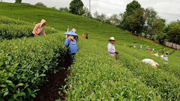 Mae Salong Tea Plantation Thailand