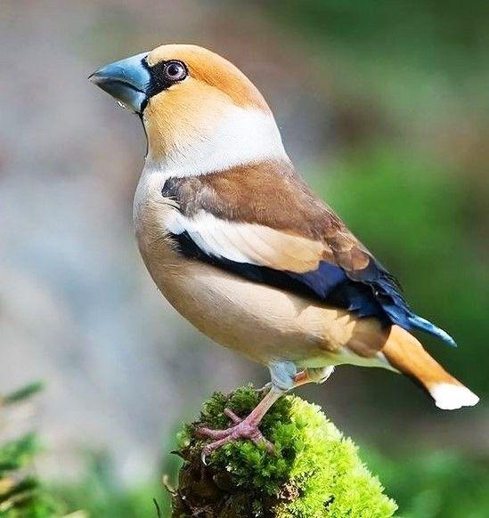 passereau ッ hawfinch bird (pinterest.com)