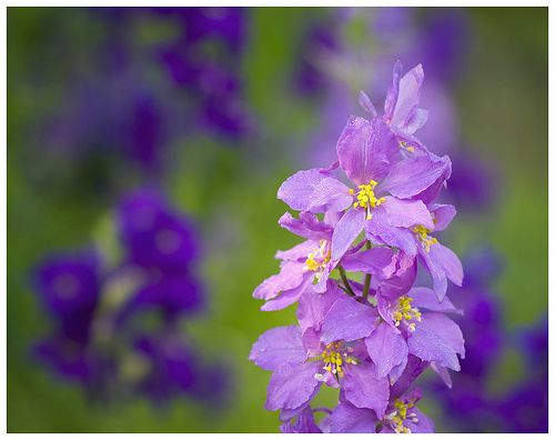 http://flowerinfo.org/wp-content/gallery/larkspur-flowers/larkspur-flower-8.jpg