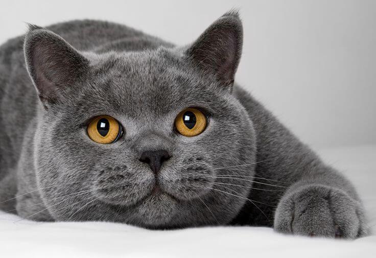Cat British Britishshorthair Shorthair Kedi Kedimikopekmi Grey Cats Pretty Cats Blue Cats