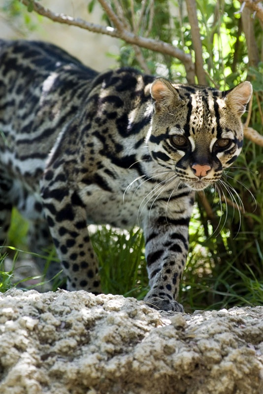 The ocelot, Felis pardalis, now highly endangered in the US