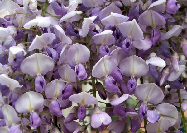 best wisteria images on, Natural flower