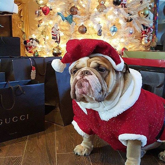 I'm ready for Santa Paws(Pc) @boss.bentley #christmasbull #christmas #englishbulldog #bulldog #repost #original #trendsetter #welovebulls #welovebullies #teambltv #bulls #power #bullies #welovevoo #voudoodolls #bullylife #bullylifetvoo #brand  #bullylifetvnola #puppy #bullylifetvfam #bullylifetv #bltvinstabull by bullylifetv