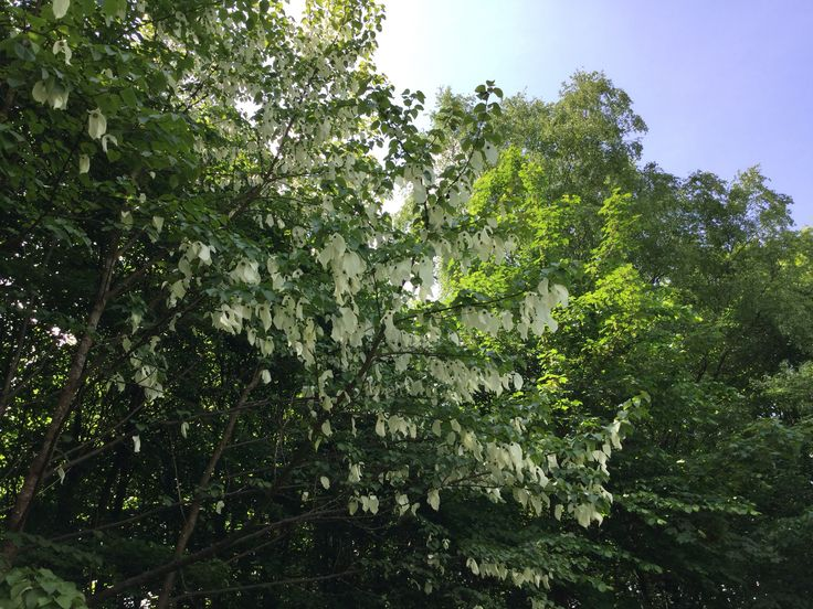 Lommetørklædetræet/Duetræet. Smukt syn med de hvide blomster, der ligner lommetørklæder/duer ❤️