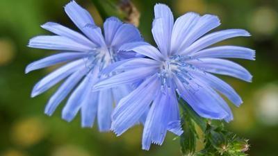 Čekanka, skromná léčivka: Modré květy hojí oči, kořen a nať játra