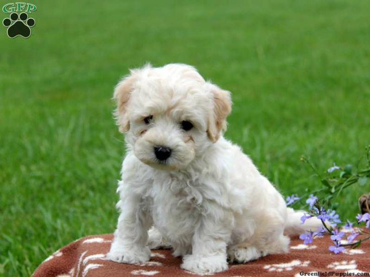 Steward, Havapoo puppy for sale in Paradise, Pa Puppies
