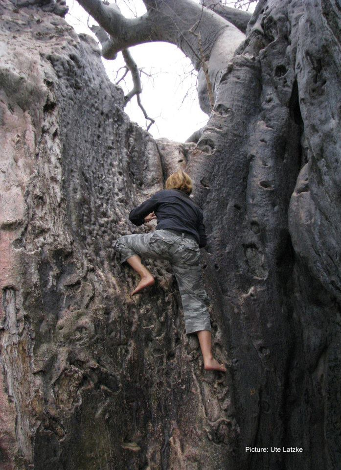 Climbing a baobab at Pafuri Camp, Makuleke Concession, Northern Kruger Park, South Africa