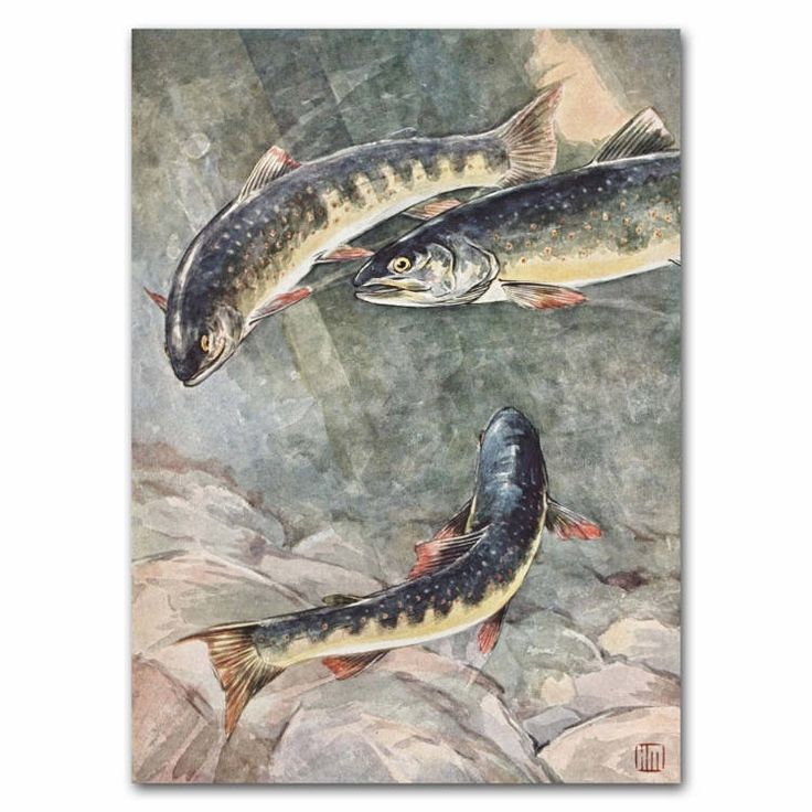 """Vintage """"Dolly Varden Trout"""" fish print by 1930s watercolor artist Hashime Murayama. #etsyseller #troutfishing #troutporn #giftforhim #vintagedecor #riverlife #lakehouse #fishart #ParagonVintagePrints Colorful underwater art from an antique book. http://etsy.me/2DpMh1X"""