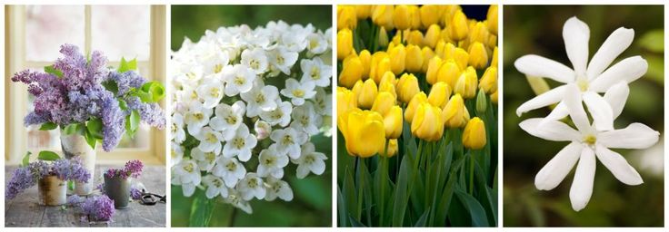April: Lilac, Viburnum, Tulips, Jasmine
