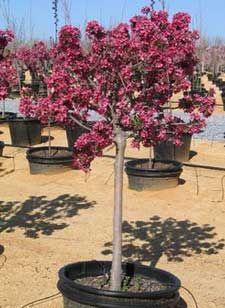 68 Best Crabapple Trees MN Images On Pinterest Flower