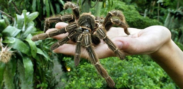 Goliath Bird Eating Spider Australia I Cant Wait Till