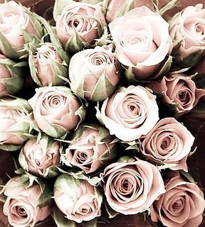 pale pink roses//