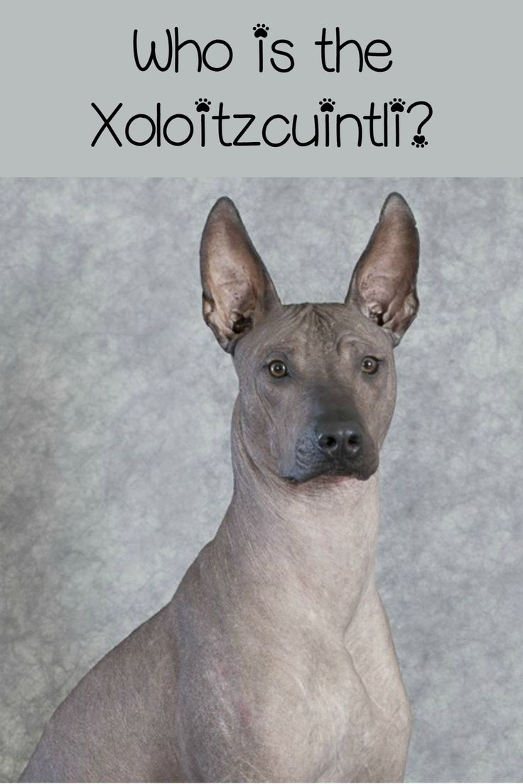 The Xoloitzcuintli, or Mexican hairless dog, is a great hypoallergenic dog. He's totally naked, making him absolutely perfect for those allergic to dander. Learn more about him!