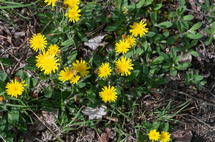 Image result for Hieracium