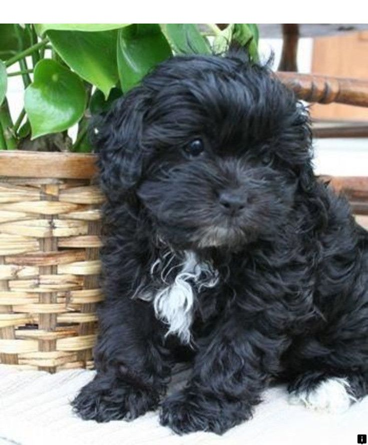 Check Out The Link For More Information Yorkshire Terrier Just Click On The Link For More Viewing The Website Is Wor Shih Poo Puppies Shih Poo Puppies