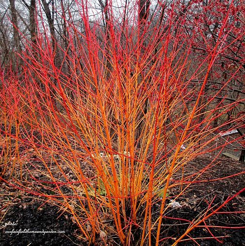 Winter Color in the Garden ~ Dogwood Shrubs (ourfairfieldhomeandgarden)