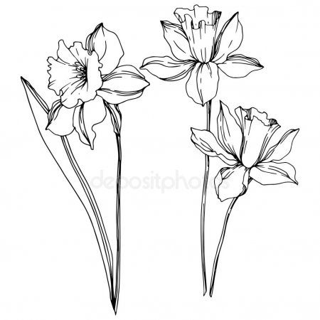 Vector Narcissus Floral Botanical Flowers Black And White Engraved Ink Art Iso Ad Botanical Pasklilja Tatuering Blommor Tatuering Hur Man Ritar Blommor