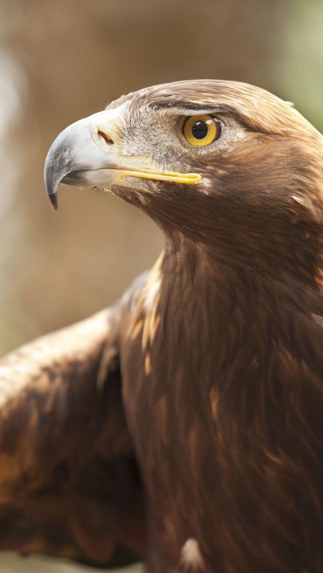 Golden Eagle - Bird Of Prey