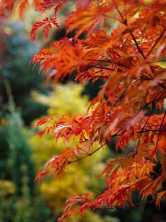 érable du Japon Bloodgood avec feuilles rouge-orangé intéressantes