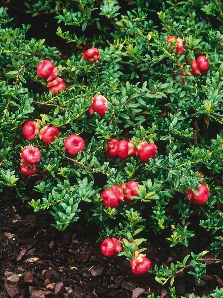 """Acidic soils are ideal for a wide range of plants, but these acid-loving or """"ericaceous"""" plants are almost impossible to grow elsewhere. If your soil is not acidic, you can grow them in containers filled with ericaceous compost."""