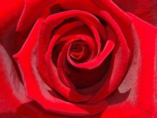 A Rosa: Nos cultos antigos, em quase todas as civilizações,  a rosa era venerada, como  símbolo dos deuses.  Diz a lenda , Clóris, deus grego  criou a rosa de uma ninfa. Afrodita,esposa de Zeus, tinha como símbolo a rosa vermelha, deu-lhe a sua beleza; Dionísio ofereceu-lhe seu néctar, daí  seu belo perfume; as 3 Graças, Eufrósina, Talia e Aglaya, filhas de Júpiter e  Vénus deram-lhe, encanto e alegria. Zéfiro, o deus do vento, levou-a às alturas e Apolo a considerou  rainha das flores.