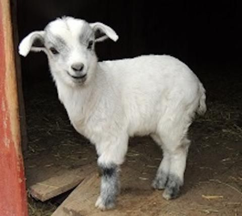 Two words: FAINTING GOATS! Learn about these adorable creatures! | Living the Country Life | http://www.livingthecountrylife.com/animals/livestock/fainting-goats/