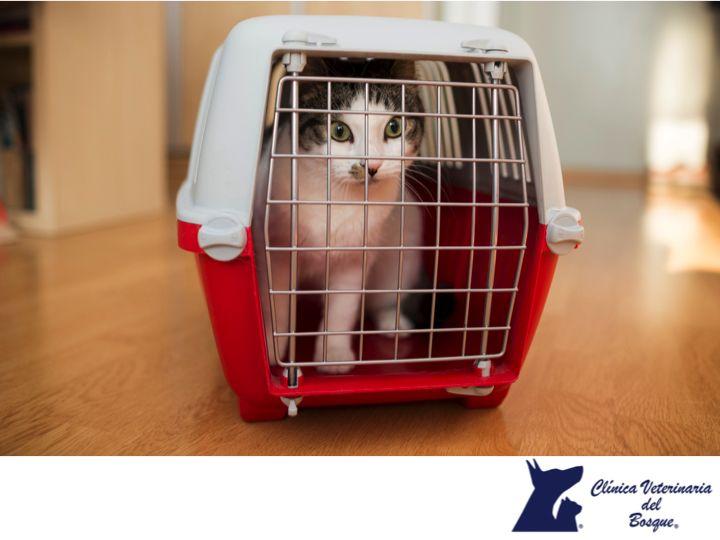 LA MEJOR CLÍNICA VETERINARIA DE MÉXICO. Los gatos a diferencia de los perros, no son propensos a salir de casa; así que cuando hay que traerlos al médico veterinario, es necesario mantener la calma porque ellos detectan fácilmente cuando sus dueños están nerviosos, y terminan la mayoría de las veces igual de intranquilos. Para llevarlos de un lugar a otro, lo ideal es contar con una jaula transportadora tapada. En Clínica Veterinaria del Bosque te invitamos a visitar nuestras instalaciones…