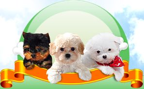 Puppies For Sale And Adoption In Ohio | Maltese, Havanese, Cavalier Pups