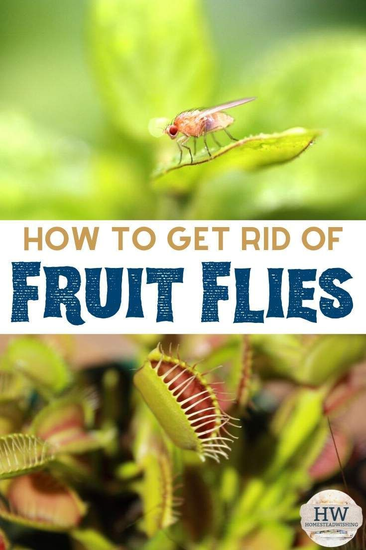 How To Get Rid Of Fruit Flies Natural Ways To Get Rid Of Fruit Flies Fruit Flies Fruit Fly Trap Homemade Fruit Fly Trap