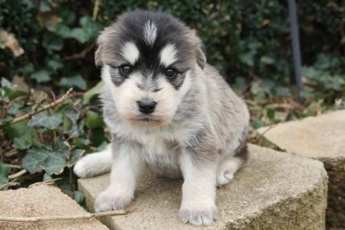 Siberpoo (Siberian Husky Poodle Mix) Info, Temperament, Puppies, Pictures