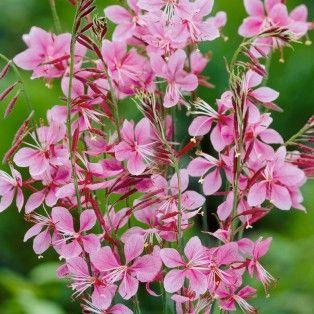 1000 id es sur le th me gaura sur pinterest fleur vivace vivace et stipa - Petites fleurs roses vivaces ...