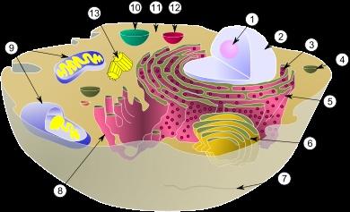 Célula Eucariota, célula animal: Estructura básica con la presencia del núcleo, donde se encuentra el material genético, y otros orgánulos. Leyenda: Diagrama de una célula animal, a la izquierda (1. Nucléolo, 2. Núcleo, 3. Ribosoma, 4. Vesícula, 5. Retículo endoplasmático rugoso, 6. Aparato de Golgi, 7. Citoesqueleto (microtúbulos), 8. Retículo endoplasmático liso, 9. Mitocondria, 10. Vacuola, 11. Citoplasma, 12. Lisosoma. 13. Centríolos.) / De Wikipedia.
