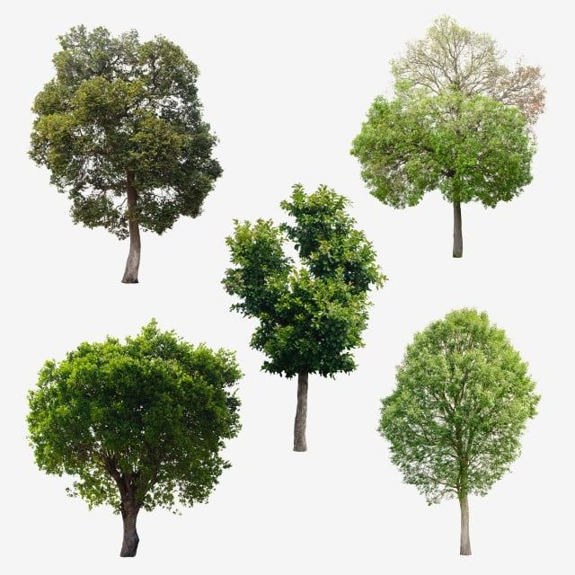 Isolated Trees On White Background Nature The Collection Of Trees Tree Png Transparent Clipart Image And Psd File For Free Download Background For Photography White Background Tree Images