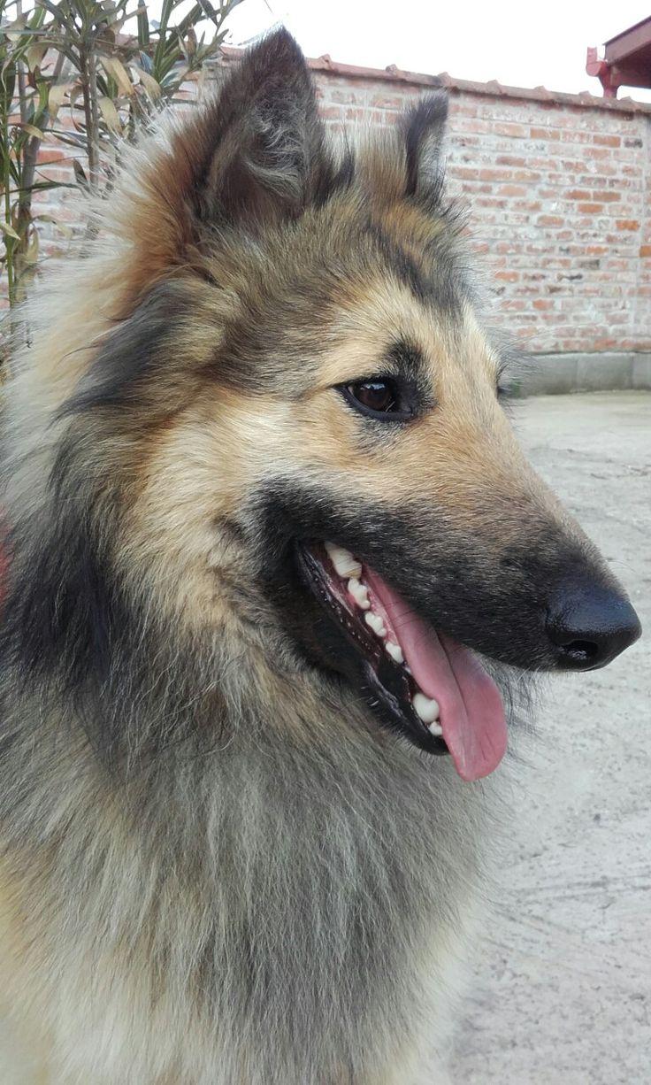 Belgian shepherd face