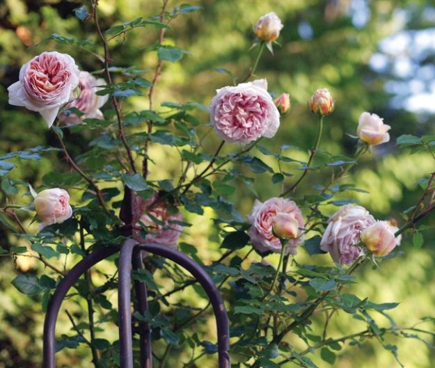 Carolina Home And Garden Magazine. 1041 Best Images About ♥Roses♥ On  Pinterest | Damasks, Climbing