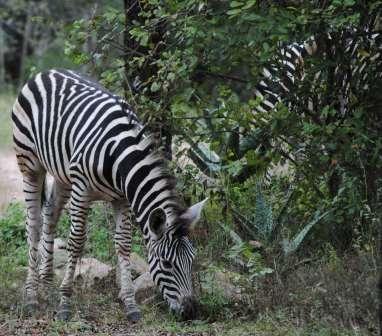 Bushveld-Wildlife-Zebras-Wildmoz.com