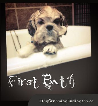 46 best stephanies pet grooming services images on pinterest pet puppy first groom ernie getting his first bath pet groomingcute solutioingenieria Gallery