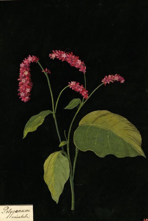 Mary Delany, Polygonum Orientale (Oriental Persicaria) collage, 1779 (source).